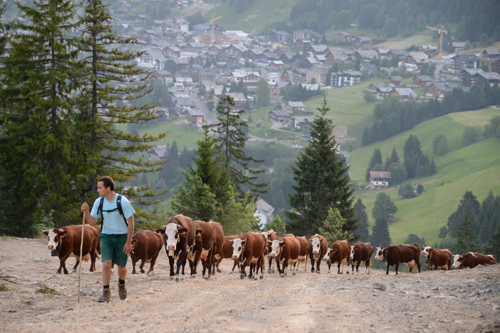 France Moving cattle to high altitude pasture Veronique Magnin